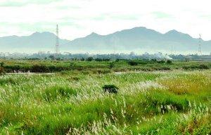 Bức tranh hoa cỏ lau bên sông Trà Khúc