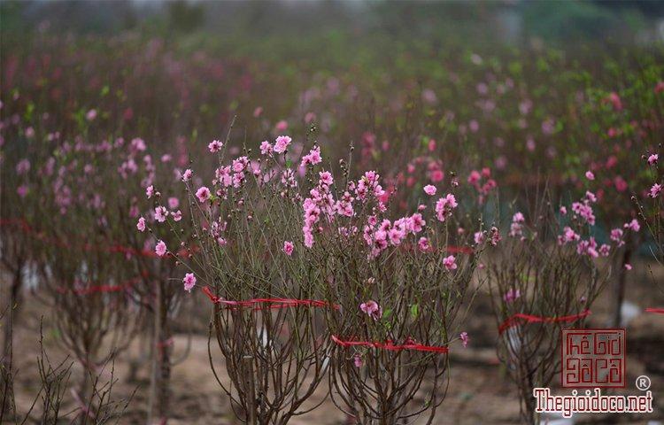 Vườn hoa đào làng Nhật Tân (1).jpg