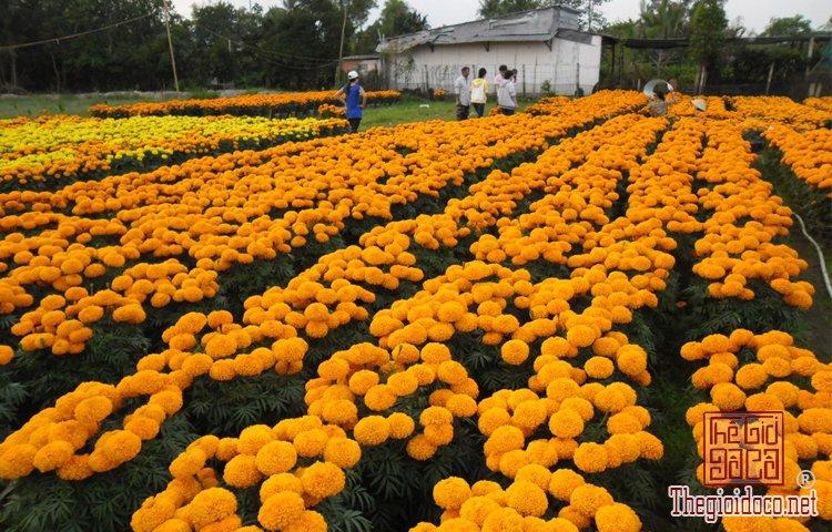 làng hoa kiểng Cái Mơn (4).jpg