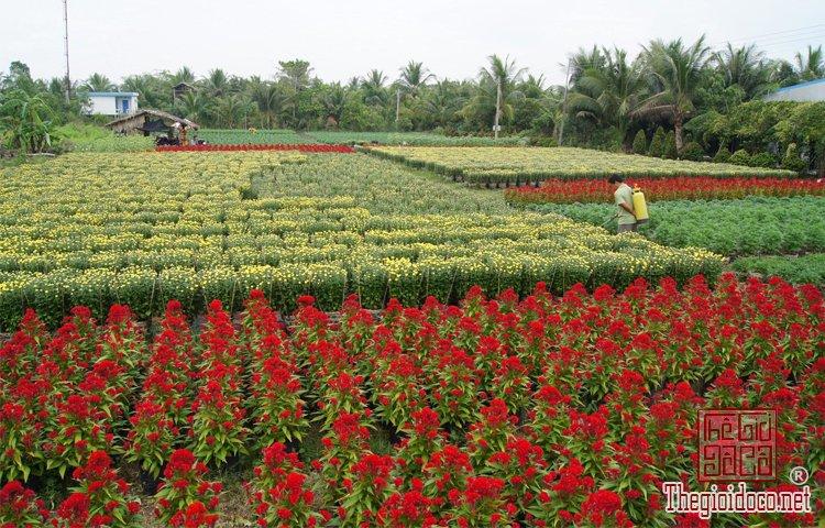 làng hoa kiểng Cái Mơn (5).jpg