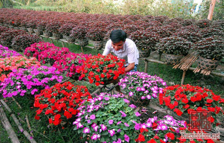 làng hoa kiểng Cái Mơn (10).jpg