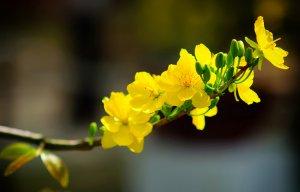 Ý nghĩa của hoa mai trong văn hóa của người Việt xưa