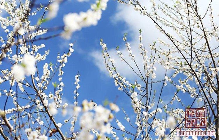 Làng hoa Nhật Tân, Hà Giang, Mộc Châu, Làng Nhật Tân, Hưng Yên, Sa Đéc (4).jpg