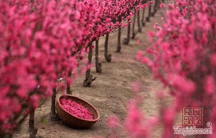 Làng hoa Nhật Tân, Hà Giang, Mộc Châu, Làng Nhật Tân, Hưng Yên, Sa Đéc (6).jpg