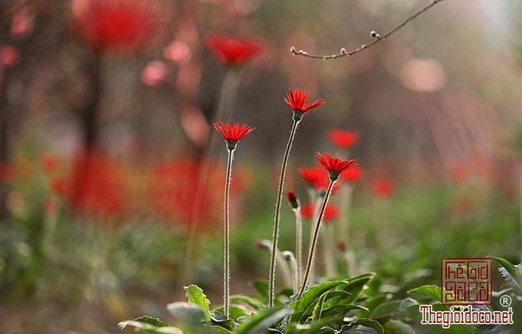 Làng hoa Nhật Tân, Hà Giang, Mộc Châu, Làng Nhật Tân, Hưng Yên, Sa Đéc (11).jpg