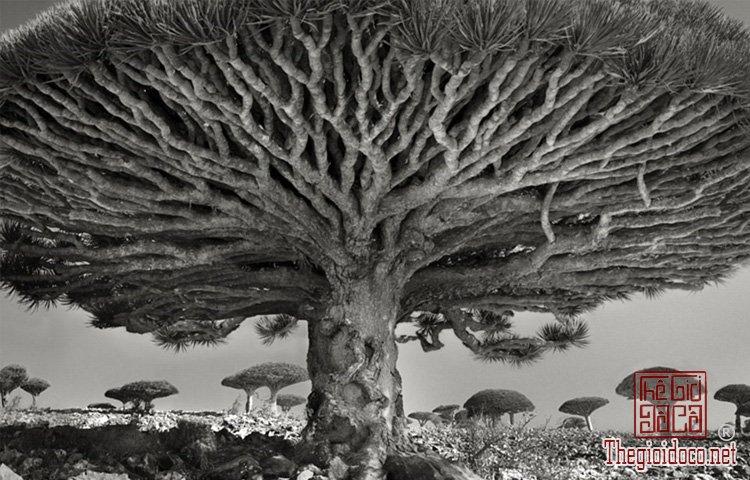 Cây già nhất thế giới (3).jpg