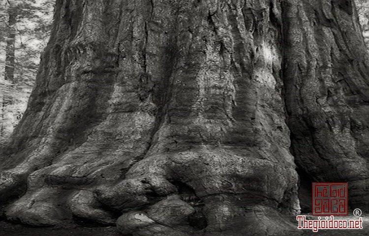 Cây già nhất thế giới (9).jpg