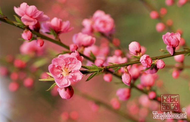 Bí quyết giữ hoa đào tươi lâu trong dịp Tết (1).jpg