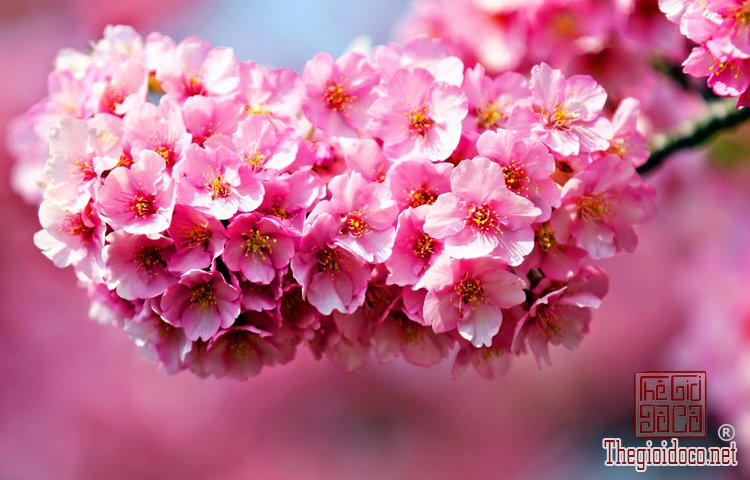 Bí quyết giữ hoa đào tươi lâu trong dịp Tết (2).jpg
