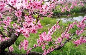 Bí quyết giữ hoa đào tươi lâu trong dịp Tết (3).jpg