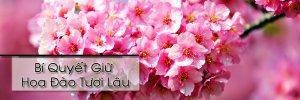 Bí quyết giữ hoa đào tươi lâu trong dịp Tết (5).jpg