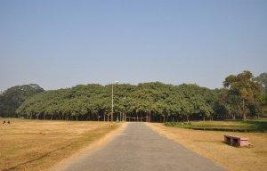 Cây đa khổng lồ có diện tích bằng cả khu rừng ở Ấn Độ