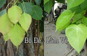 Phân biệt cây Bồ Đề và cây Lâm Vồ