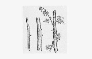 Phương pháp ghép cây cơ bản