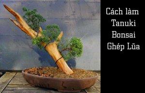 Cách làm Tanuki - Bonsai ghép gỗ lũa