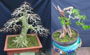 Kỹ thuật uốn cây cảnh - bonsai