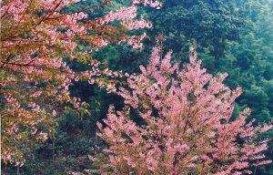 Du lịch Mộc Châu thăm hoa anh đào vào mùa này rất đẹp