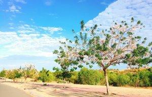 Hoa đỗ mai Phan Thiết (1).jpg