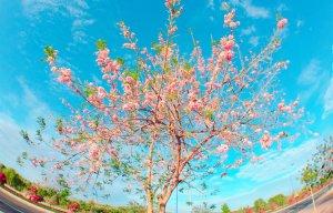 Hoa đỗ mai Phan Thiết (2).jpg
