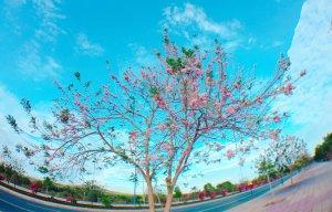 Hoa đỗ mai Phan Thiết (4).jpg