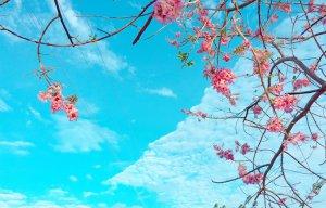 Hoa đỗ mai Phan Thiết (5).jpg