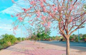 Hoa đỗ mai Phan Thiết (6).jpg