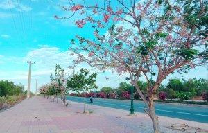 Hoa đỗ mai Phan Thiết (7).jpg