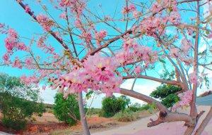 Hoa đỗ mai Phan Thiết (8).jpg