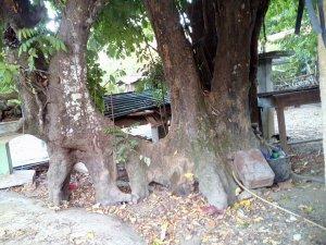 cây khế cổ thụ trên 130 năm