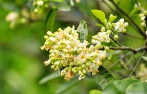 Hoa bưởi đầu mùa có thể dùng kết hợp trong nhiều bài thuốc chữa bệnh đơn giản