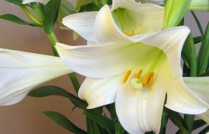 Những loài hoa đẹp có chất kịch độc chết người mọi người nên tham khảo