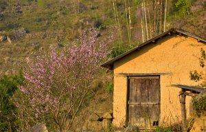 Hoa đào Y Tý nở rộ sắc hồng quyến rũ du khách muôn nơi