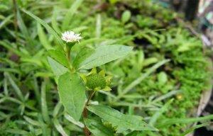 Bài thuốc quý từ cây nhọ nồi, công dụng chữa bệnh của cây cỏ mực