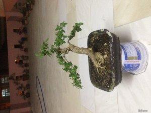Tp HCM. Bán vài cây linh sam lá trung giá rẻ