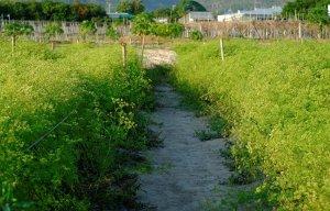 Ở Bà Rịa - Vũng Tàu có một vườn hoa ngò rí rất đẹp chuẩn sống ảo