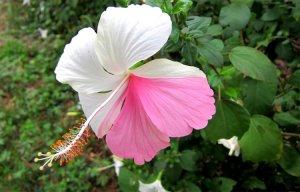 Trị sỏi thận bằng hoa dâm bụt – Cách trị sỏi thận tại nhà