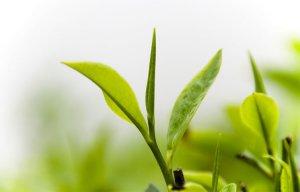 Công dụng của Trà xanh cực kỳ tốt đối với sức khỏe của chúng ta