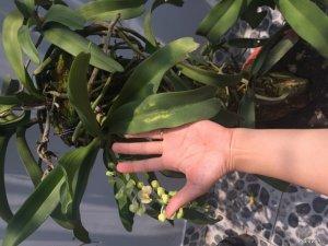 Thanh lý vườn lan Cattleya, ngọc điểm