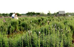 Cánh đồng hoa lavender đầu tiên ở Hà Nội cho các bạn trẻ sống ảo