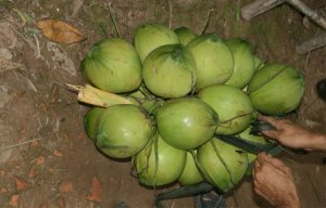 Hướng dẫn chữa bệnh gout từ trái dừa xiêm và lá trầu tươi