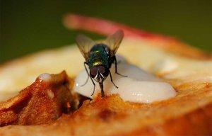 Tác hại của ruồi đậu vào thức ăn nhưng bạn vẫn tiếp tục ăn