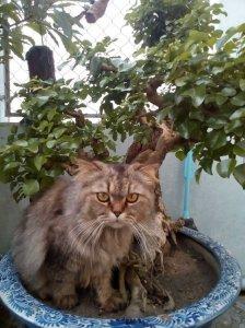Gl cây trắc bonsai cực đẹp !