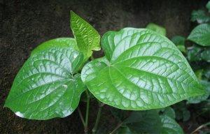 Công dụng từ lá lốt chữa được rất nhiều bệnh mà ít người biết