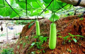 Bầu là loại thực phẩm lành mạnh và bổ dưỡng cực kỳ tốt cho sức khỏe