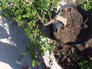 Sam bông thác đổ và hải châu bay lá rí thuần chậu 3 năm
