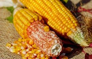 Ngô là vị thuốc giải độc và giảm mỡ máu cực kỳ tốt cho sức khỏe
