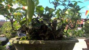 bán cây dành dành bonsai hoạn thiện