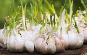 Tỏi mọc mầm và tác hại của tỏi mọc mầm đối với sức khỏe của con người