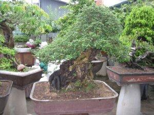 Vườn Chật Thanh Lí - Găng Tu Hú Khủng