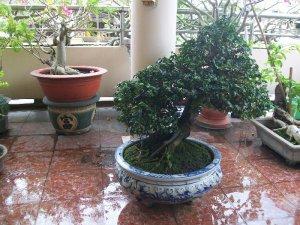 Giao lưu cây bonsai kimquit cổ xưa